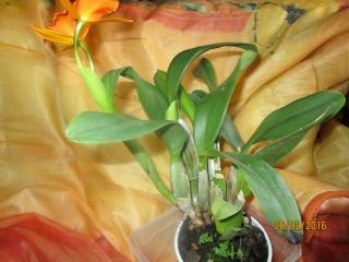 Cattleya Hybride Img_0115