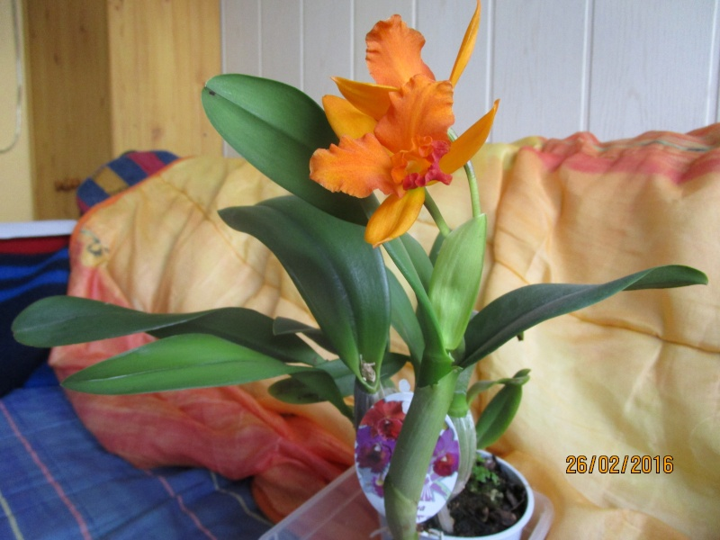 Cattleya Hybride Img_0116