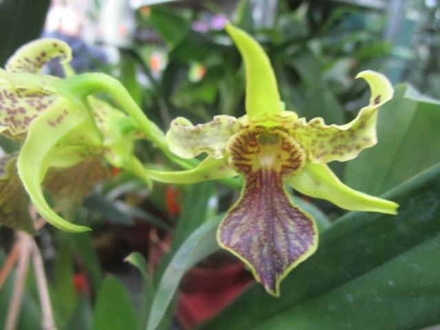 Orchideenausstellung in Frankfurt im Palmengarten 2016 Img_0249