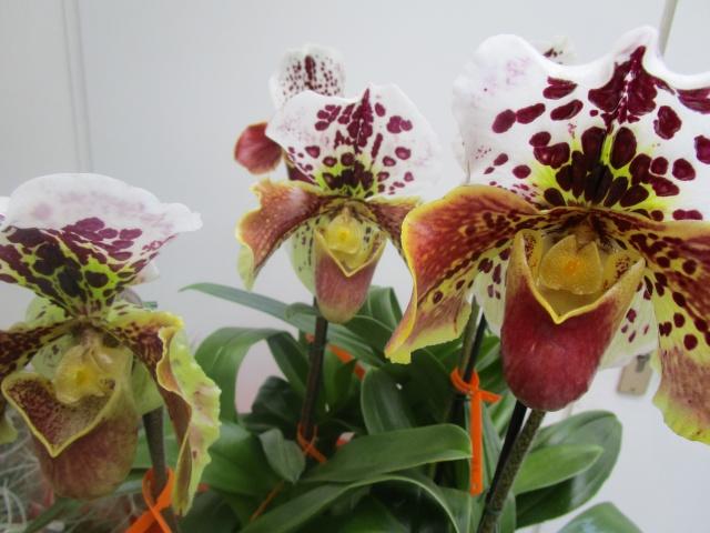 Orchideenausstellung in Frankfurt im Palmengarten 2016 Img_0252