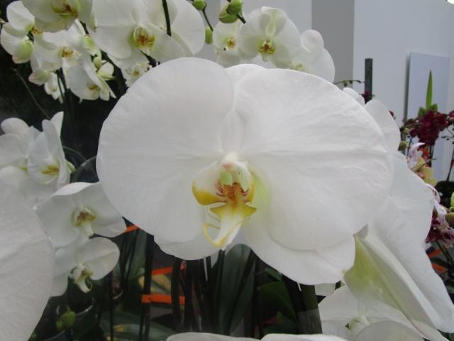 Orchideenausstellung in Frankfurt im Palmengarten 2016 Img_0259