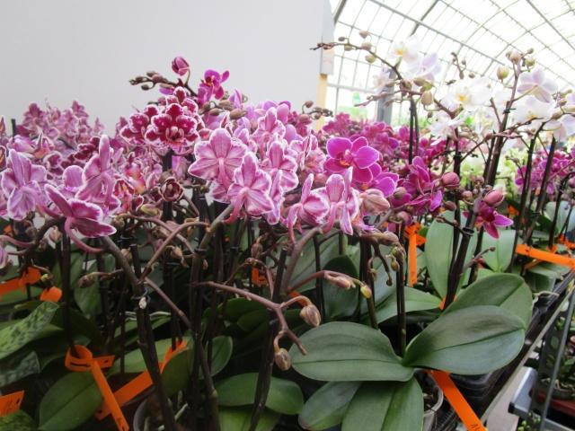 Orchideenausstellung in Frankfurt im Palmengarten 2016 Img_0260
