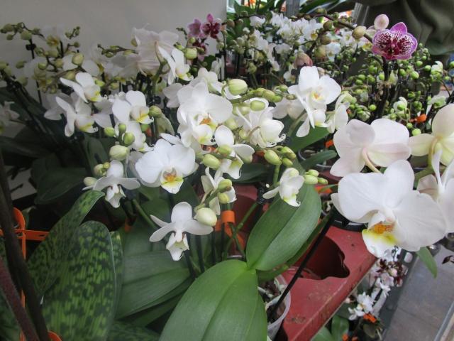Orchideenausstellung in Frankfurt im Palmengarten 2016 Img_0262