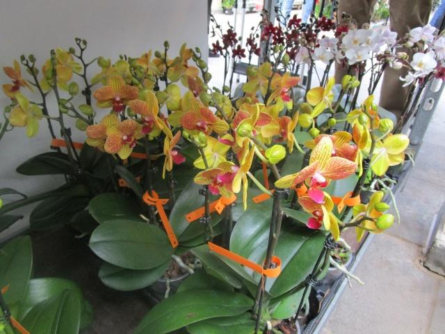 Orchideenausstellung in Frankfurt im Palmengarten 2016 Img_0263