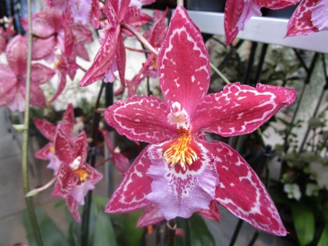 Orchideenausstellung in Frankfurt im Palmengarten 2016 Img_0264