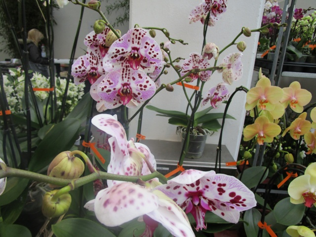 Orchideenausstellung in Frankfurt im Palmengarten 2016 Img_0266