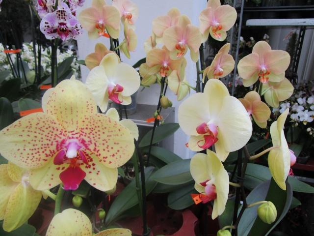 Orchideenausstellung in Frankfurt im Palmengarten 2016 Img_0268