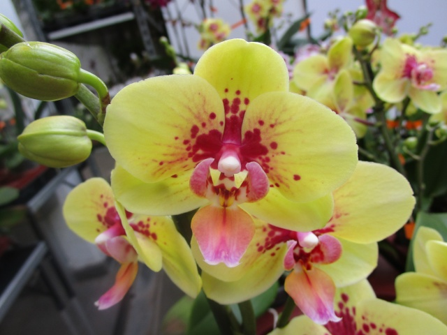 Orchideenausstellung in Frankfurt im Palmengarten 2016 Img_0270