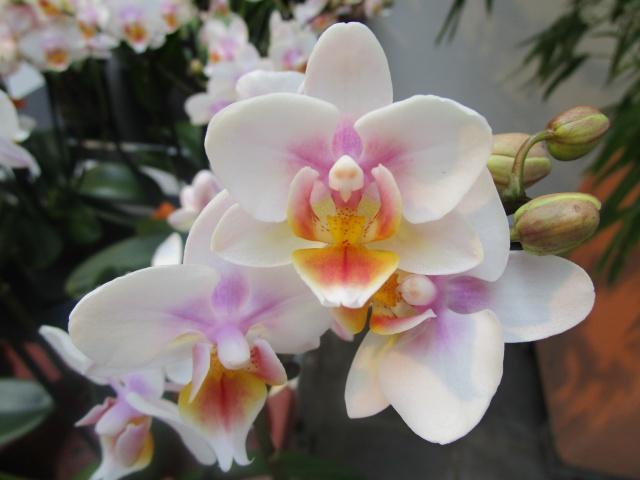 Orchideenausstellung in Frankfurt im Palmengarten 2016 Img_0271