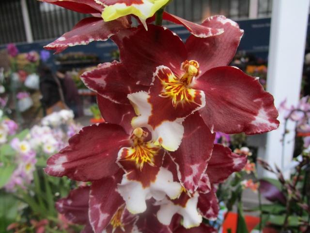 Orchideenausstellung in Frankfurt im Palmengarten 2016 Img_0274