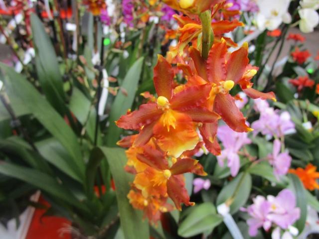 Orchideenausstellung in Frankfurt im Palmengarten 2016 Img_0277