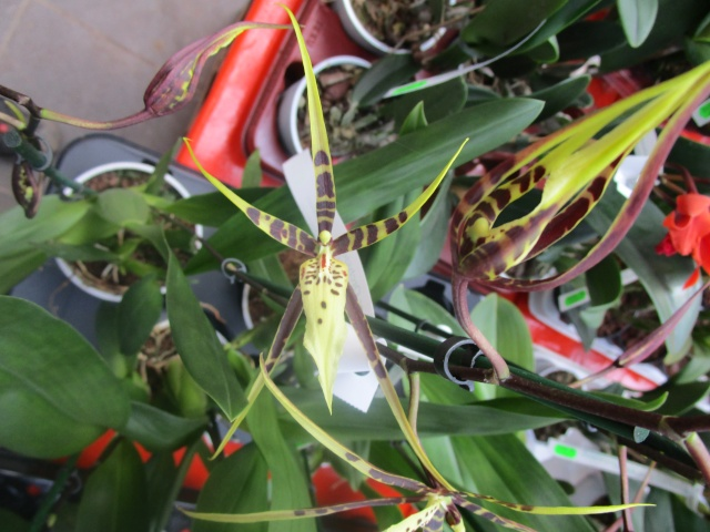 Orchideenausstellung in Frankfurt im Palmengarten 2016 Img_0292