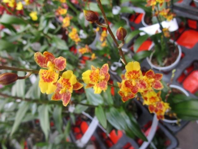 Orchideenausstellung in Frankfurt im Palmengarten 2016 Img_0317