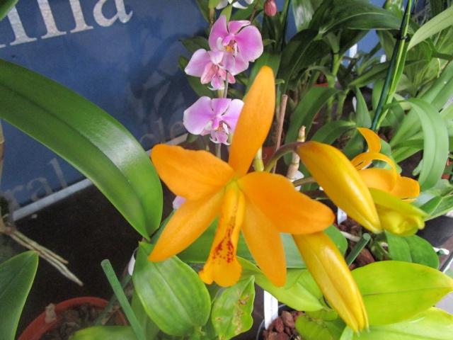 Orchideenausstellung in Frankfurt im Palmengarten 2016 Img_0322