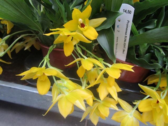 Orchideenausstellung in Frankfurt im Palmengarten 2016 Img_0325