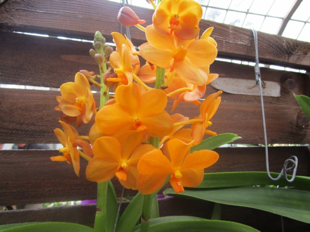 Orchideenausstellung in Frankfurt im Palmengarten 2016 Img_0327
