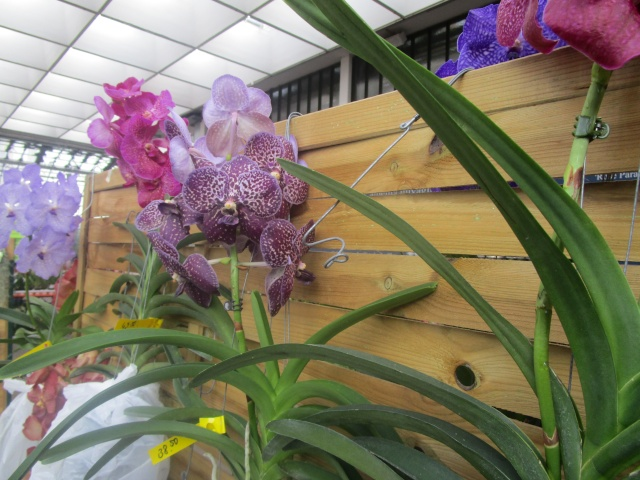 Orchideenausstellung in Frankfurt im Palmengarten 2016 Img_0330