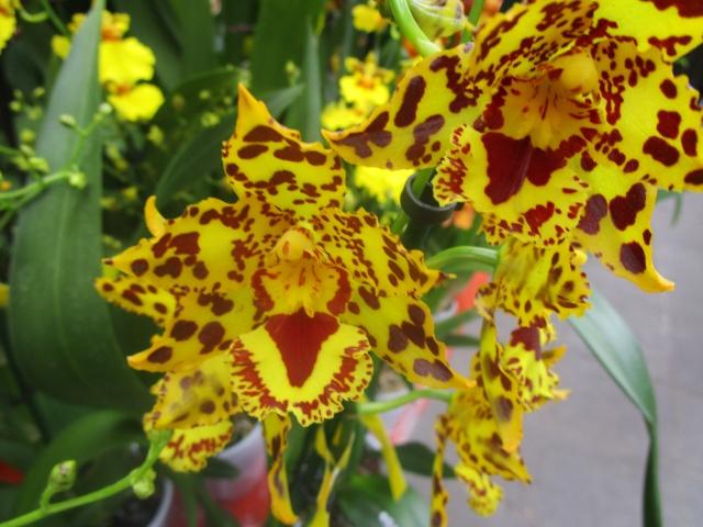Orchideenausstellung in Frankfurt im Palmengarten 2016 Img_0332