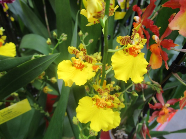 Orchideenausstellung in Frankfurt im Palmengarten 2016 Img_0333