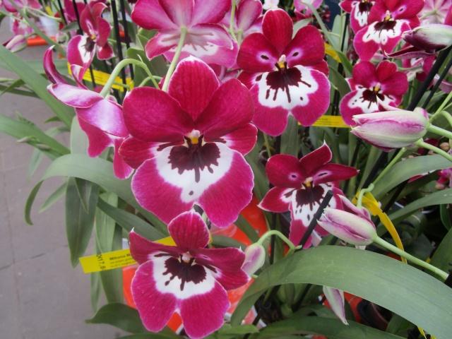 Orchideenausstellung in Frankfurt im Palmengarten 2016 Img_0335