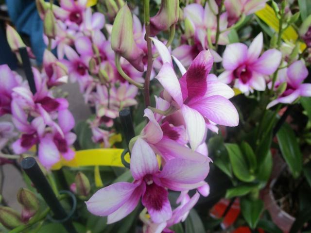 Orchideenausstellung in Frankfurt im Palmengarten 2016 Img_0336