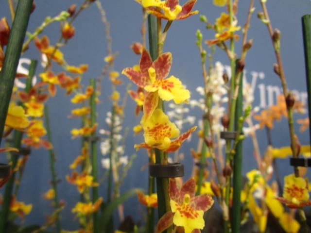 Orchideenausstellung in Frankfurt im Palmengarten 2016 Img_0339
