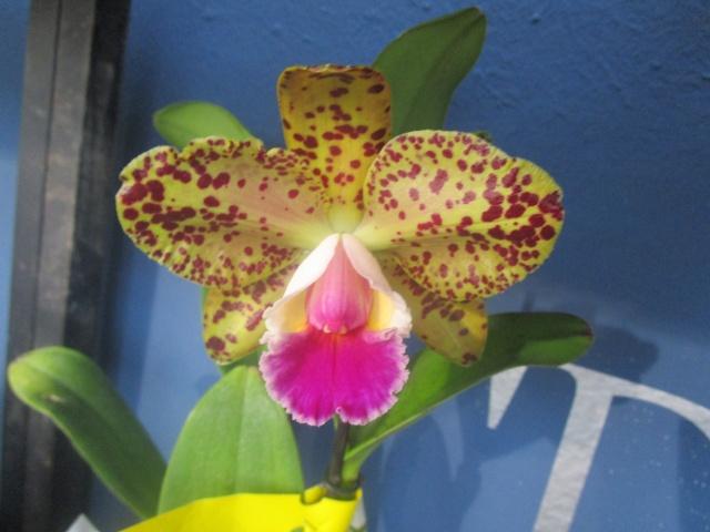 Orchideenausstellung in Frankfurt im Palmengarten 2016 Img_0343