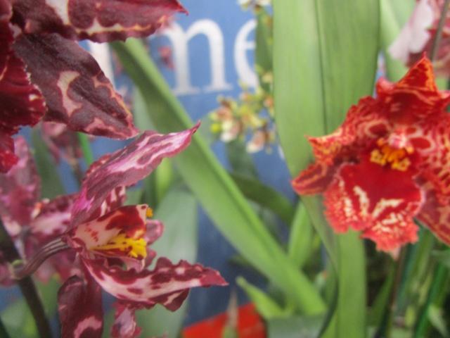 Orchideenausstellung in Frankfurt im Palmengarten 2016 Img_0344