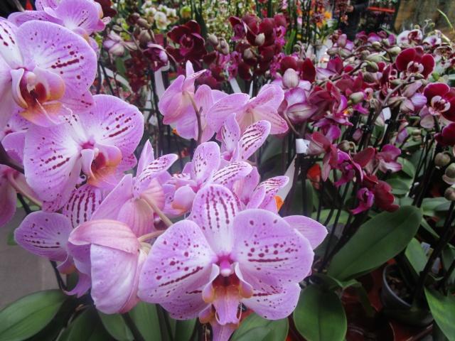 Orchideenausstellung in Frankfurt im Palmengarten 2016 Img_0345