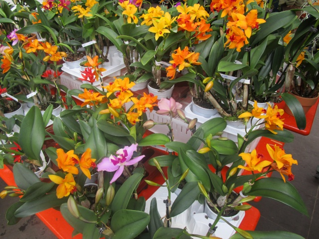 Orchideenausstellung in Frankfurt im Palmengarten 2016 Img_0351