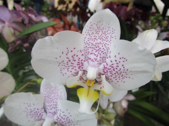 Orchideenausstellung in Frankfurt im Palmengarten 2016 Img_0354