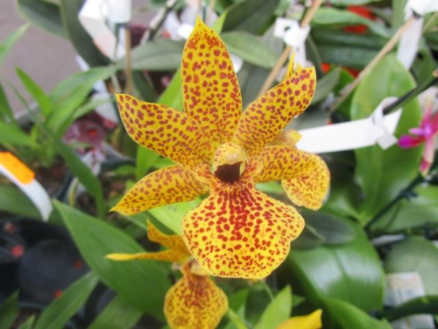 Orchideenausstellung in Frankfurt im Palmengarten 2016 Img_0357