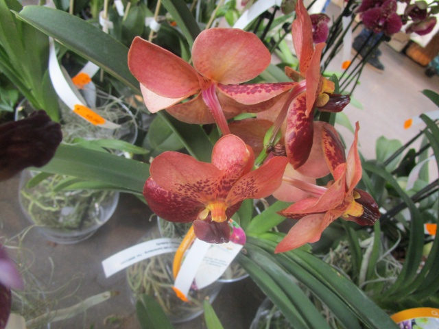 Orchideenausstellung in Frankfurt im Palmengarten 2016 Img_0358