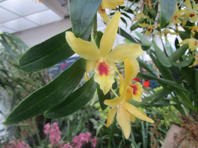 Orchideenausstellung in Frankfurt im Palmengarten 2016 Img_0366