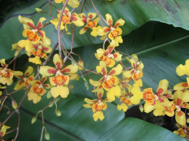 Orchideenausstellung in Frankfurt im Palmengarten 2016 Img_0380
