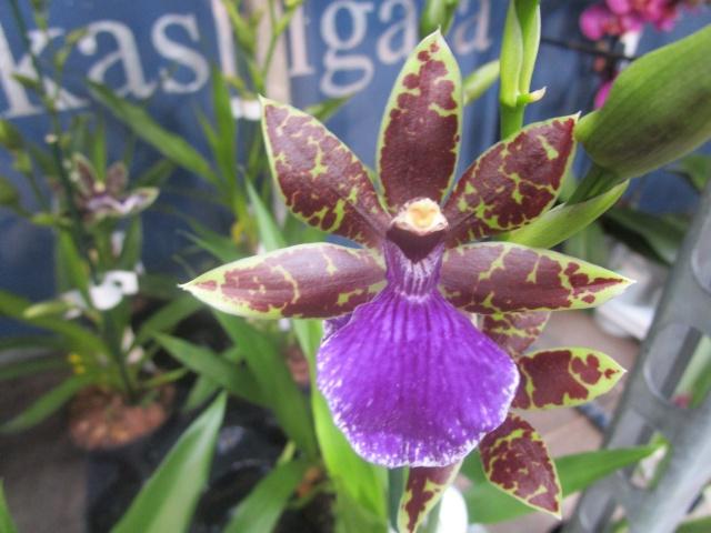 Orchideenausstellung in Frankfurt im Palmengarten 2016 Img_0389
