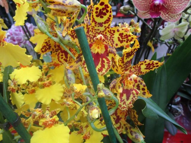 Orchideenausstellung in Frankfurt im Palmengarten 2016 Img_0392