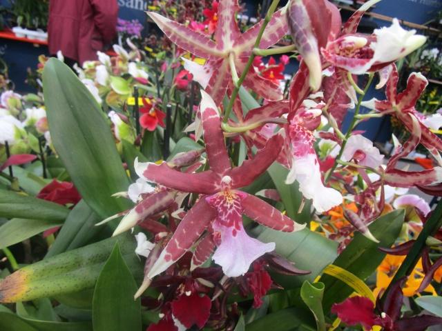 Orchideenausstellung in Frankfurt im Palmengarten 2016 Img_0394
