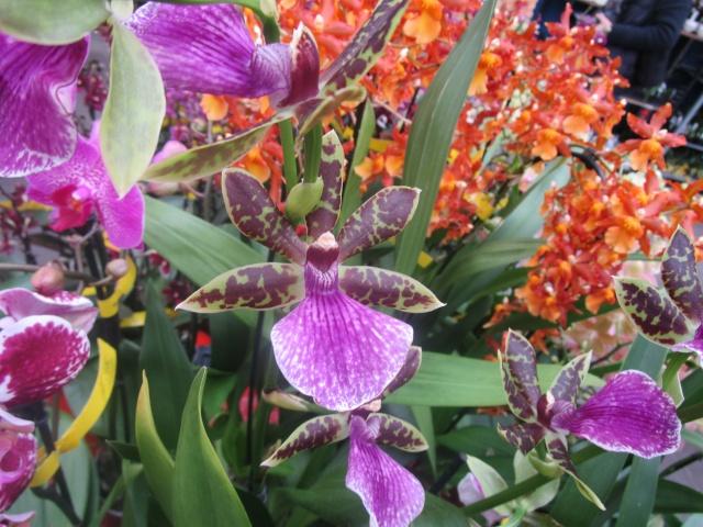 Orchideenausstellung in Frankfurt im Palmengarten 2016 Img_0412