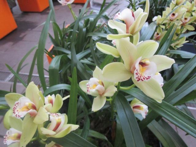 Orchideenausstellung in Frankfurt im Palmengarten 2016 Img_0415