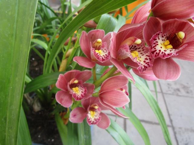 Orchideenausstellung in Frankfurt im Palmengarten 2016 Img_0418