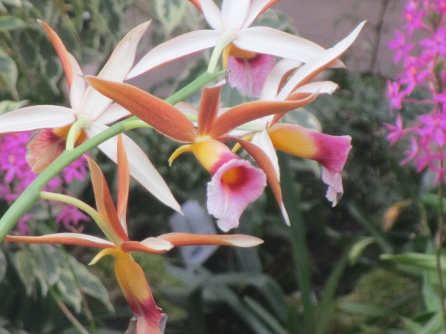Orchideenausstellung in Frankfurt im Palmengarten 2016 Img_0421