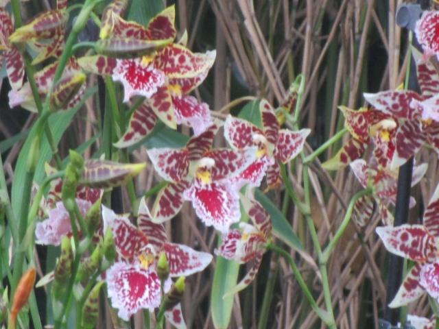 Orchideenausstellung in Frankfurt im Palmengarten 2016 Img_0423