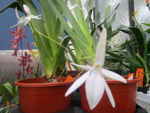 Orchideenausstellung in Frankfurt im Palmengarten 2016 Img_0428