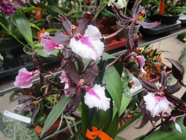 Orchideenausstellung in Frankfurt im Palmengarten 2016 Img_0430