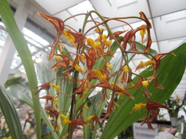 Orchideenausstellung in Frankfurt im Palmengarten 2016 Img_0435