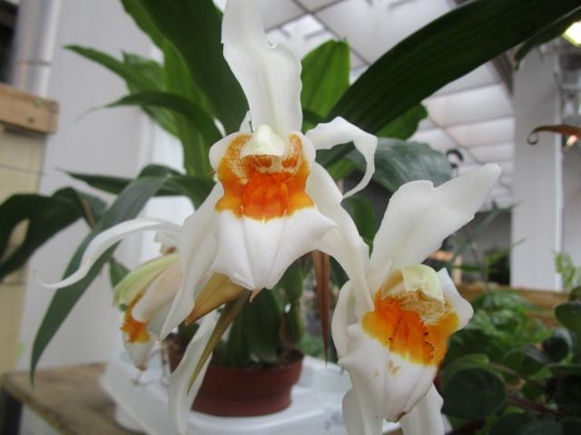 Orchideenausstellung in Frankfurt im Palmengarten 2016 Img_0440
