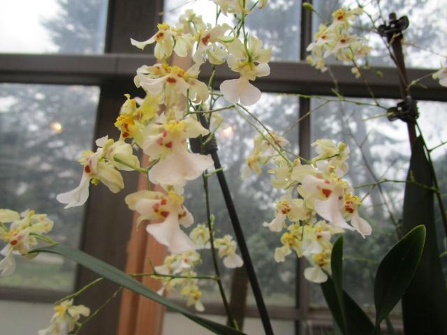 Orchideenausstellung in Frankfurt im Palmengarten 2016 Img_0446