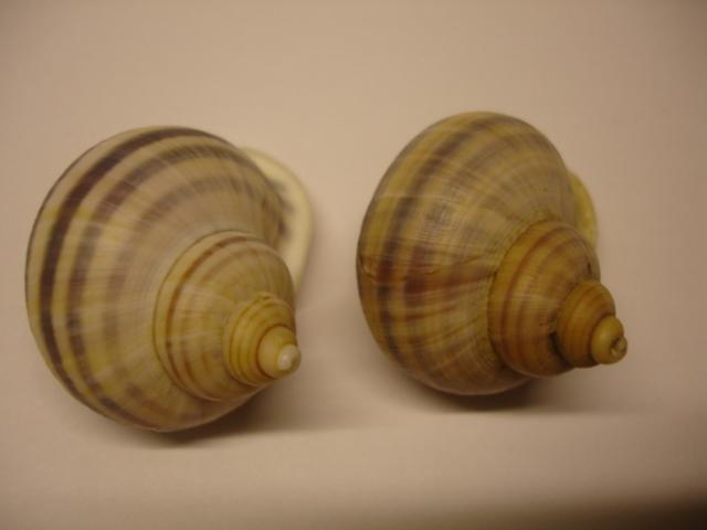 Tropidophora sp ? Dsc05511