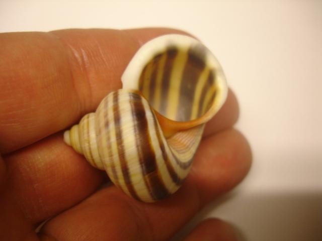 Tropidophora sp ? Dsc05513